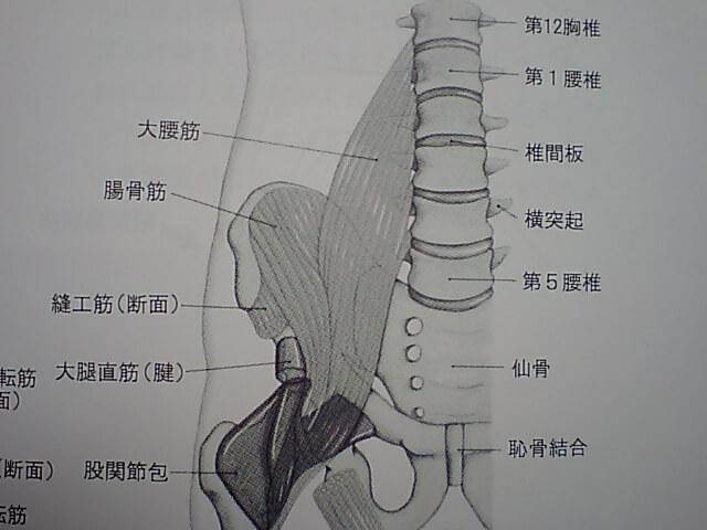 大腰筋は、背骨である、第12胸椎から、太ももの骨である、大腿骨小転子に付着する。